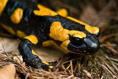 800px-Fire salamander March 2008b